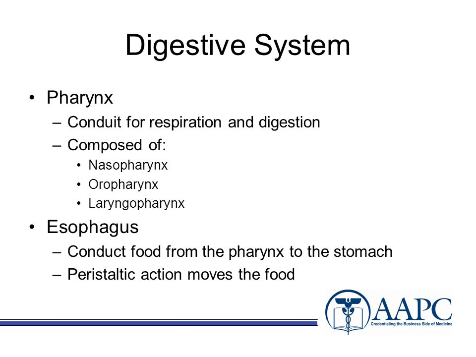 Digestive System Pharynx –Conduit for respiration and digestion –Composed of: Nasopharynx Oropharynx Laryngopharynx Esophagus –Conduct food from the pharynx to the stomach –Peristaltic action moves the food