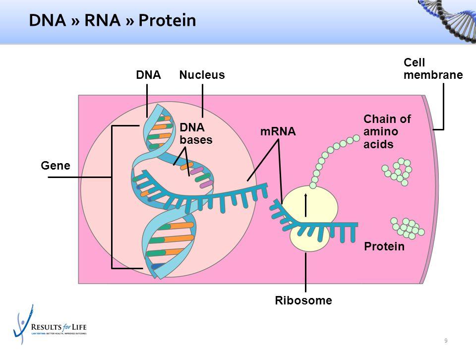 Nucleus DNA bases mRNA DNA Protein Ribosome Cell membrane Gene Chain of amino acids DNA » RNA » Protein 9