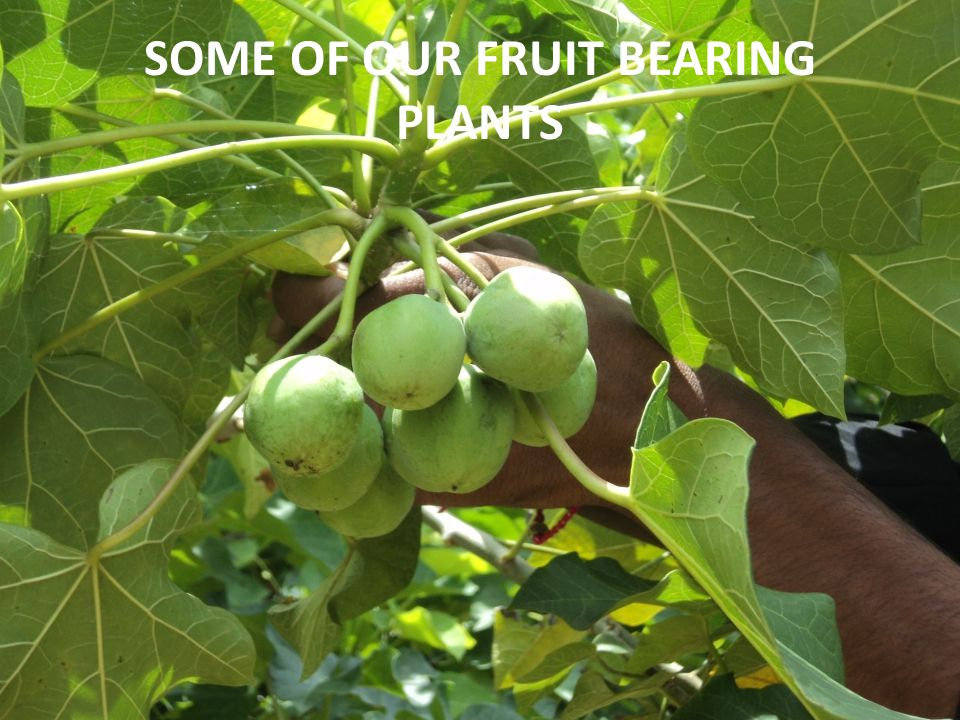 SOME OF OUR FRUIT BEARING PLANTS