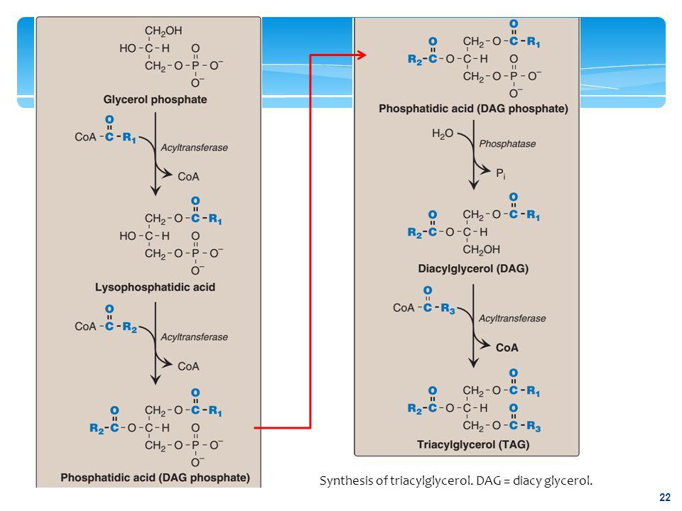 Synthesis of triacylglycerol. DAG = diacy glycerol. 22
