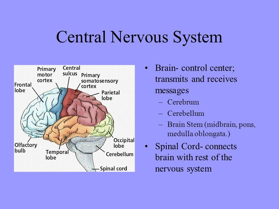Central Nervous System Brain- control center; transmits and receives messages –Cerebrum –Cerebellum –Brain Stem (midbrain, pons, medulla oblongata.) S