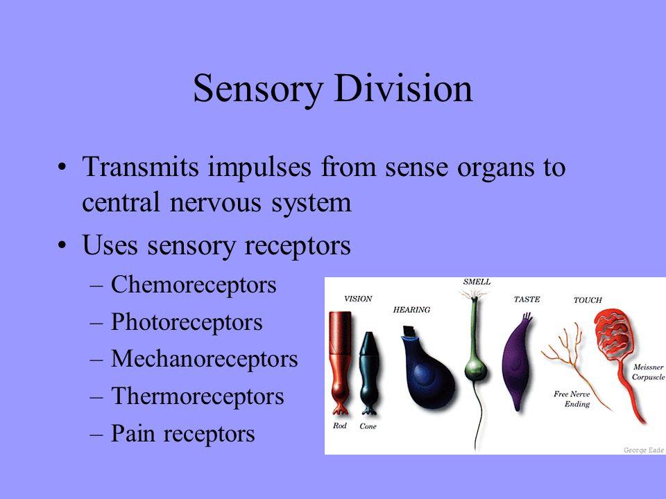 Sensory Division Transmits impulses from sense organs to central nervous system Uses sensory receptors –Chemoreceptors –Photoreceptors –Mechanorecepto