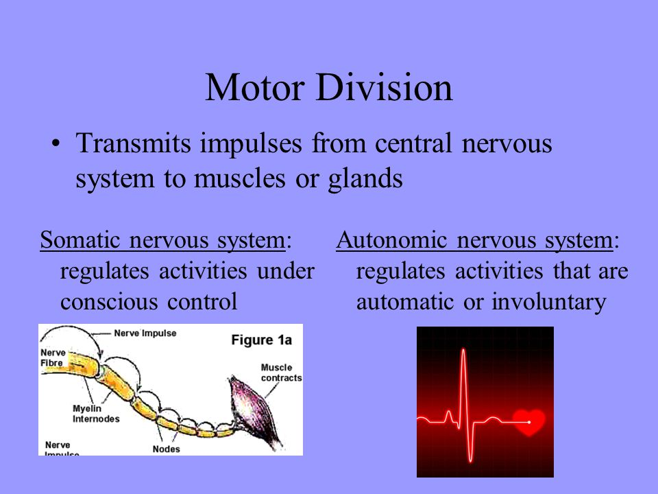 Motor Division Transmits impulses from central nervous system to muscles or glands Somatic nervous system: regulates activities under conscious contro