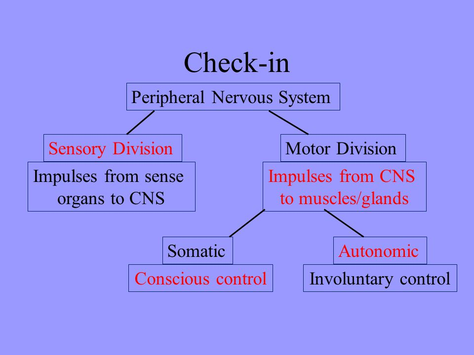 Check-in Peripheral Nervous System Sensory Division Impulses from sense organs to CNS Motor Division Impulses from CNS to muscles/glands Somatic Consc