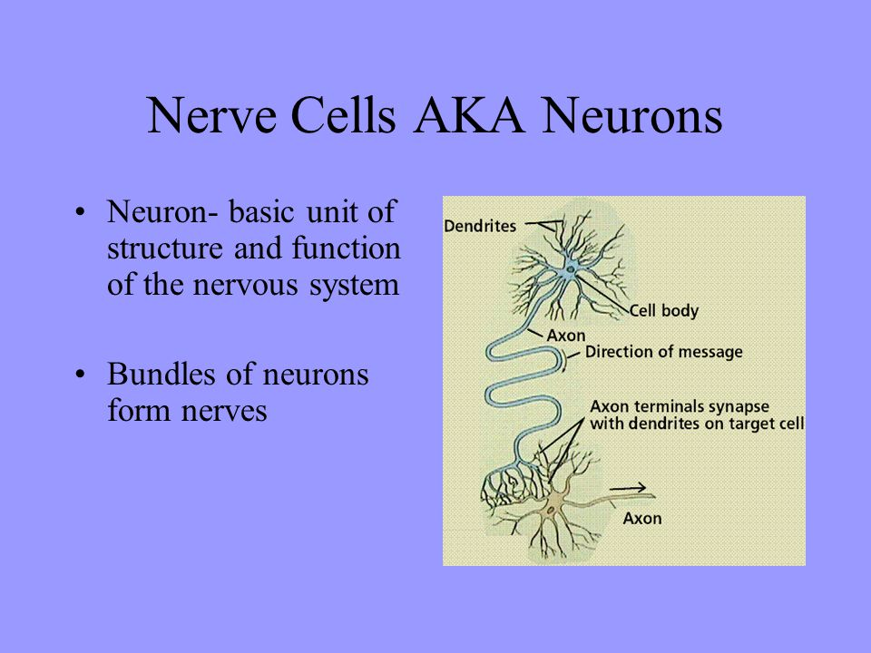 Nerve Cells AKA Neurons Neuron- basic unit of structure and function of the nervous system Bundles of neurons form nerves