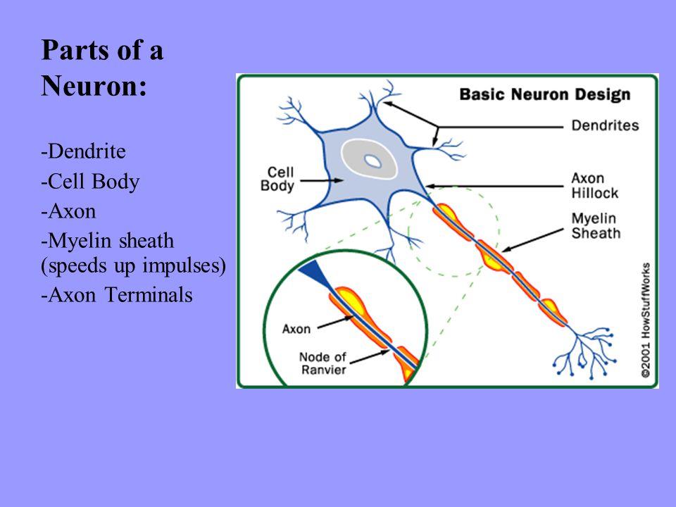 Parts of a Neuron: -Dendrite -Cell Body -Axon -Myelin sheath (speeds up impulses) -Axon Terminals