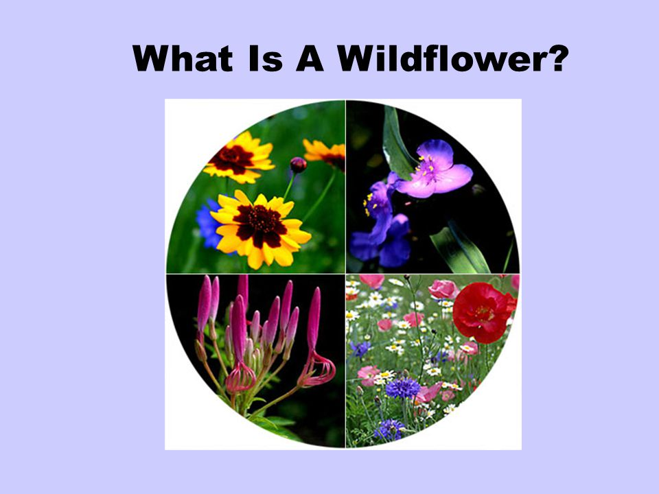 What Is A Wildflower