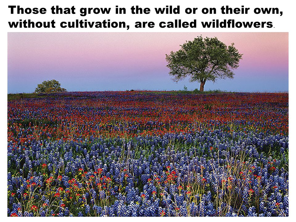 Those that grow in the wild or on their own, without cultivation, are called wildflowers.