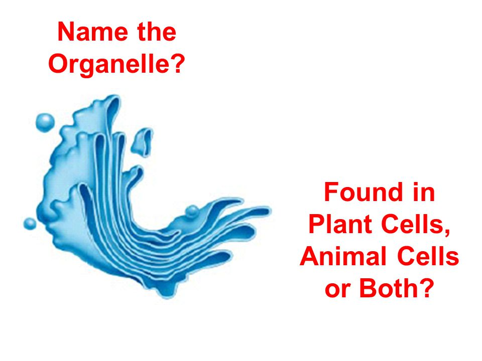 Name the Organelle? Found in Plant Cells, Animal Cells or Both?