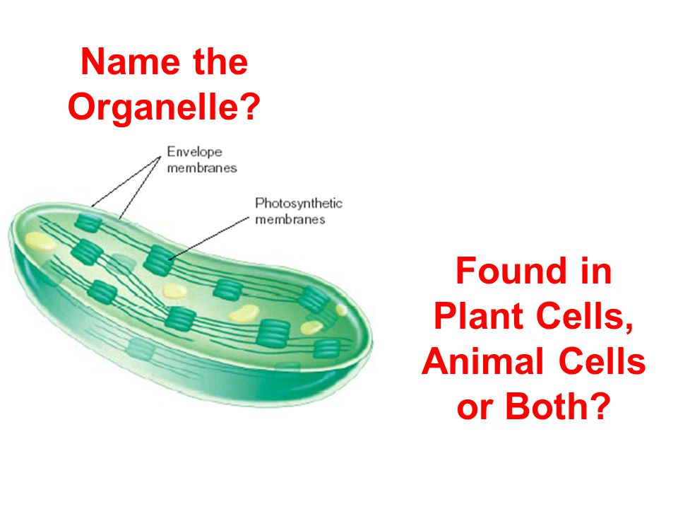 Name the Organelle Found in Plant Cells, Animal Cells or Both