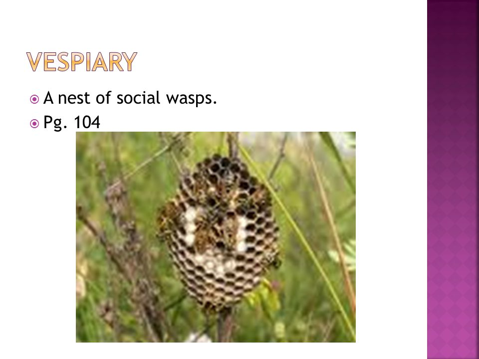  A nest of social wasps.  Pg. 104