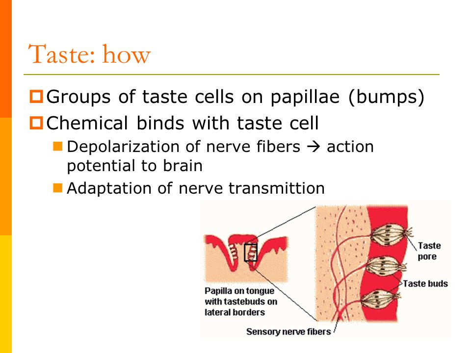 Taste: how  Groups of taste cells on papillae (bumps)  Chemical binds with taste cell Depolarization of nerve fibers  action potential to brain Ada