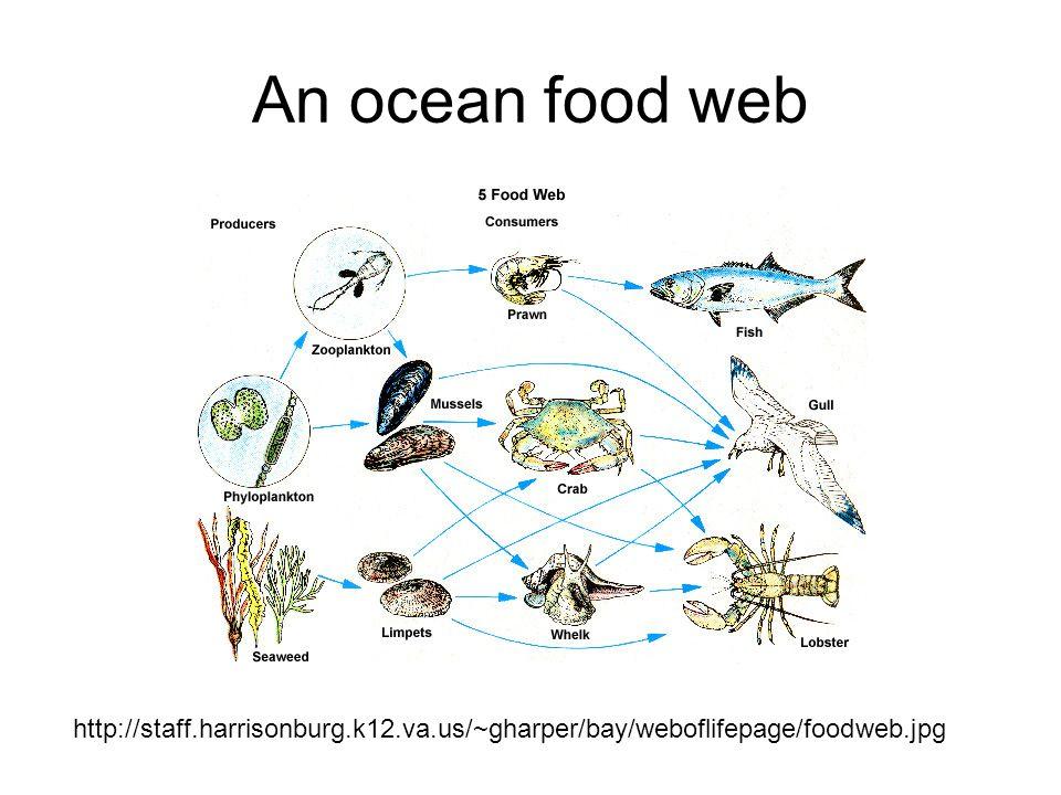 http://staff.harrisonburg.k12.va.us/~gharper/bay/weboflifepage/foodweb.jpg An ocean food web