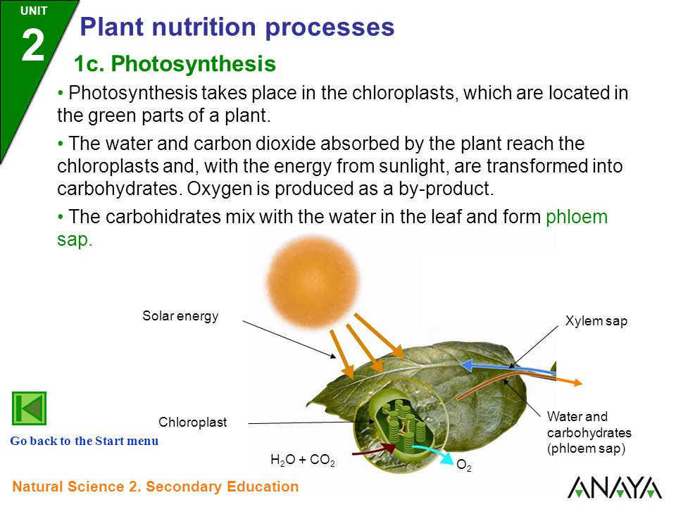 Photosynthesis takes place in the chloroplasts, which are located in the green parts of a plant.