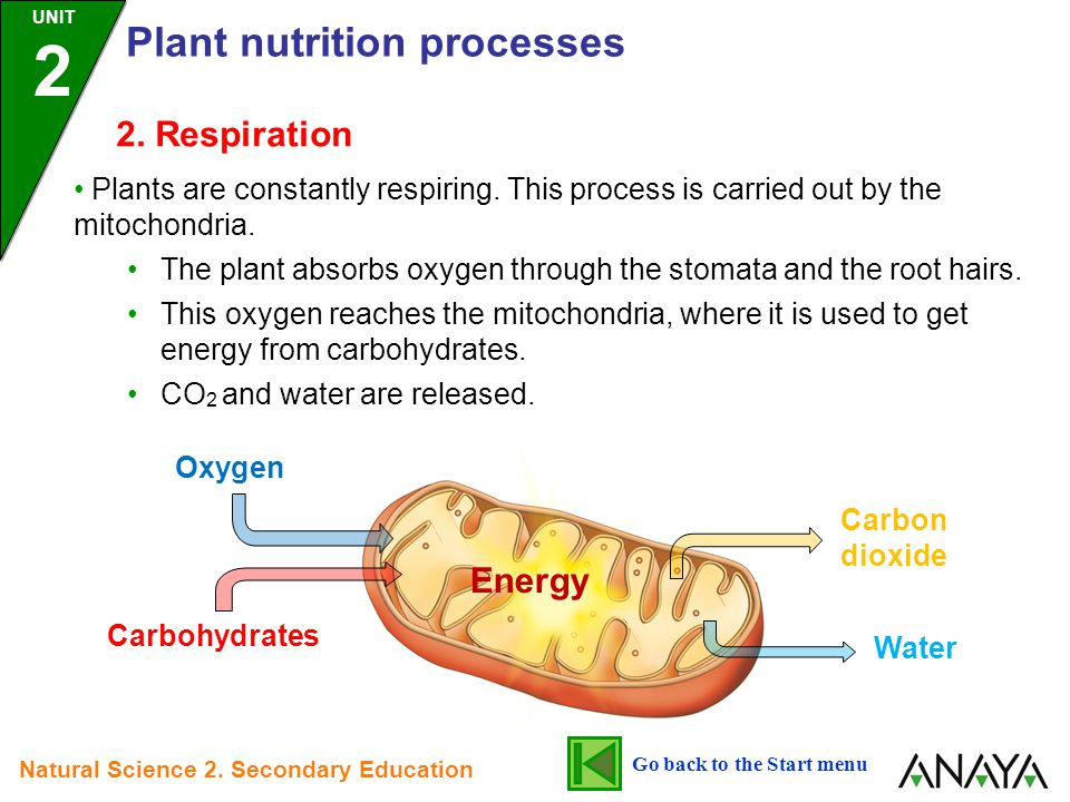 2. Respiration Plants are constantly respiring. This process is carried out by the mitochondria. The plant absorbs oxygen through the stomata and the