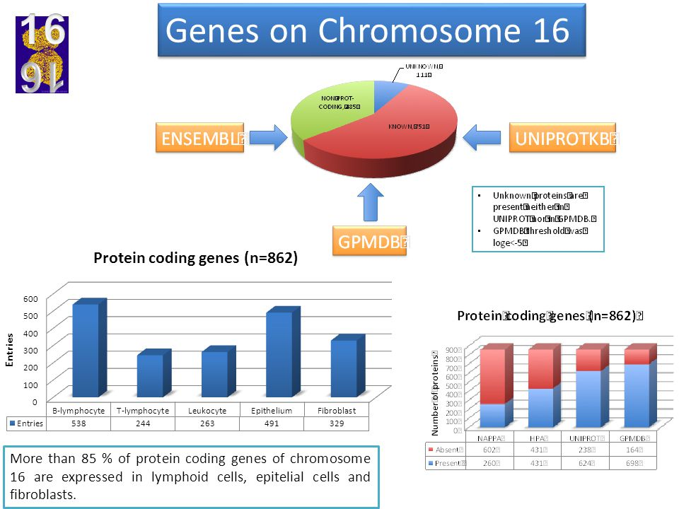 Genes on Chromosome 16 More than 85 % of protein coding genes of chromosome 16 are expressed in lymphoid cells, epitelial cells and fibroblasts.