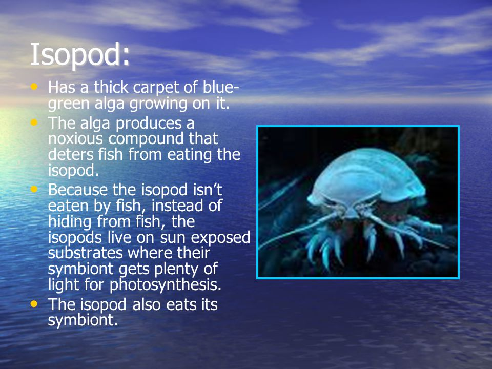 Isopod: Has a thick carpet of blue- green alga growing on it. The alga produces a noxious compound that deters fish from eating the isopod. Because th