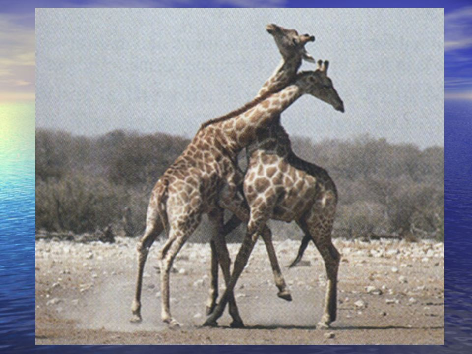 All Hypotheses Must be Tested: the Giraffe's Neck Pratt and Anderson classified social status of males Pratt and Anderson classified social status of males – Class C were young adults – Class A were large adults – Class B were small adults Class A males had wider, stronger heads Class A males had wider, stronger heads Studied displacement by classes and receptivity of females of classes Studied displacement by classes and receptivity of females of classes Pratt and Anderson classified social status of males Pratt and Anderson classified social status of males – Class C were young adults – Class A were large adults – Class B were small adults Class A males had wider, stronger heads Class A males had wider, stronger heads Studied displacement by classes and receptivity of females of classes Studied displacement by classes and receptivity of females of classes