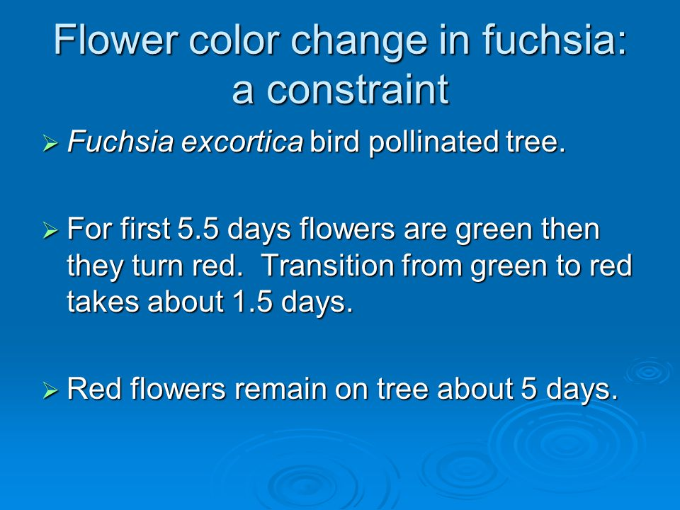 Flower color change in fuchsia: a constraint  Fuchsia excortica bird pollinated tree.  For first 5.5 days flowers are green then they turn red. Tran