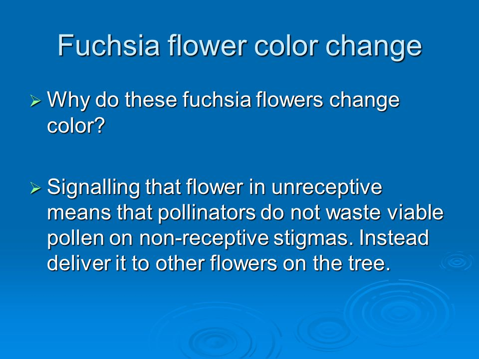 Fuchsia flower color change  Why do these fuchsia flowers change color?  Signalling that flower in unreceptive means that pollinators do not waste v