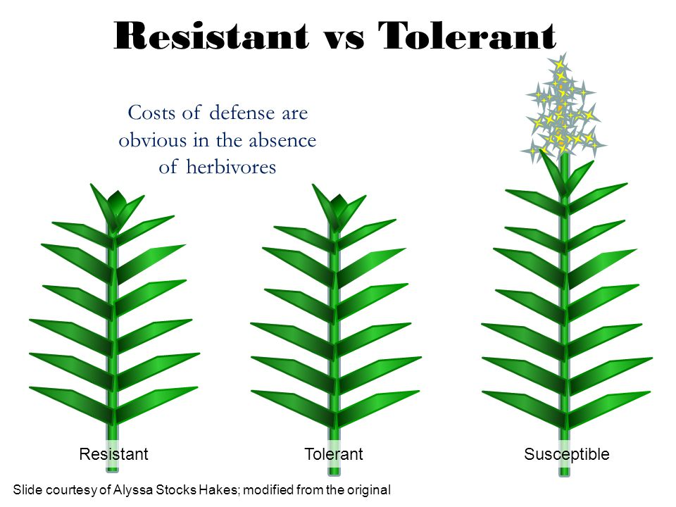 Slide courtesy of Alyssa Stocks Hakes; modified from the original Resistant Tolerant Susceptible Costs of defense are obvious in the absence of herbiv