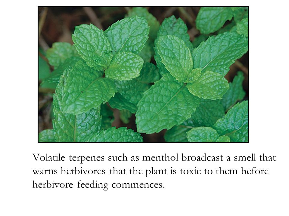 Volatile terpenes such as menthol broadcast a smell that warns herbivores that the plant is toxic to them before herbivore feeding commences.