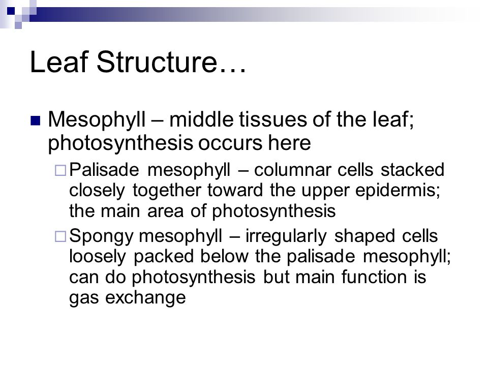 Leaf Structure… Vascular bundles (veins) – extend through the mesophyll and carry both xylem and phloem; use diffusion to move water to cells and food away from cells Bundle sheath – surrounds the veins and helps provide support; may have extensions into the mesophyll cells