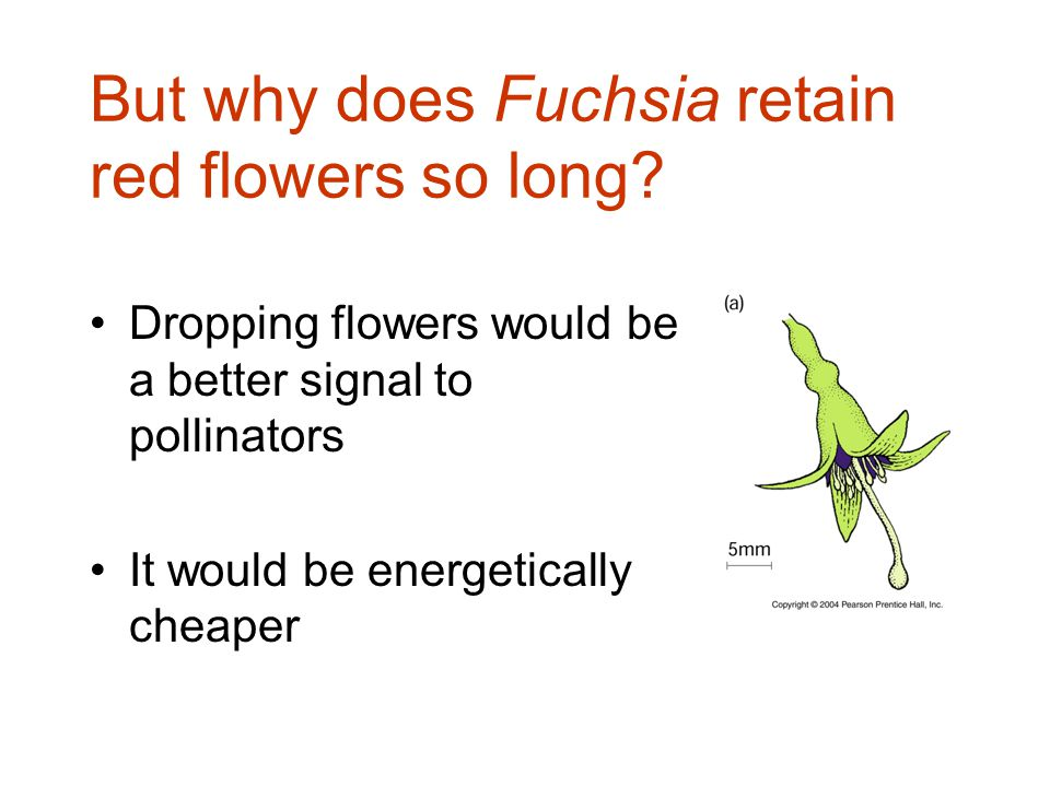 But why does Fuchsia retain red flowers so long.