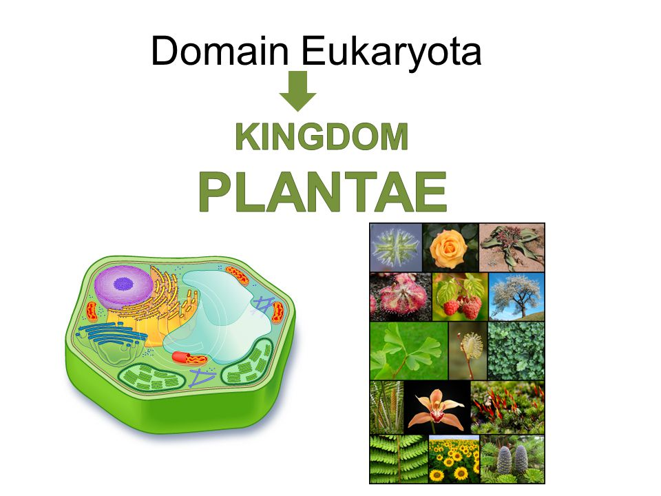 Domain Eukaryota