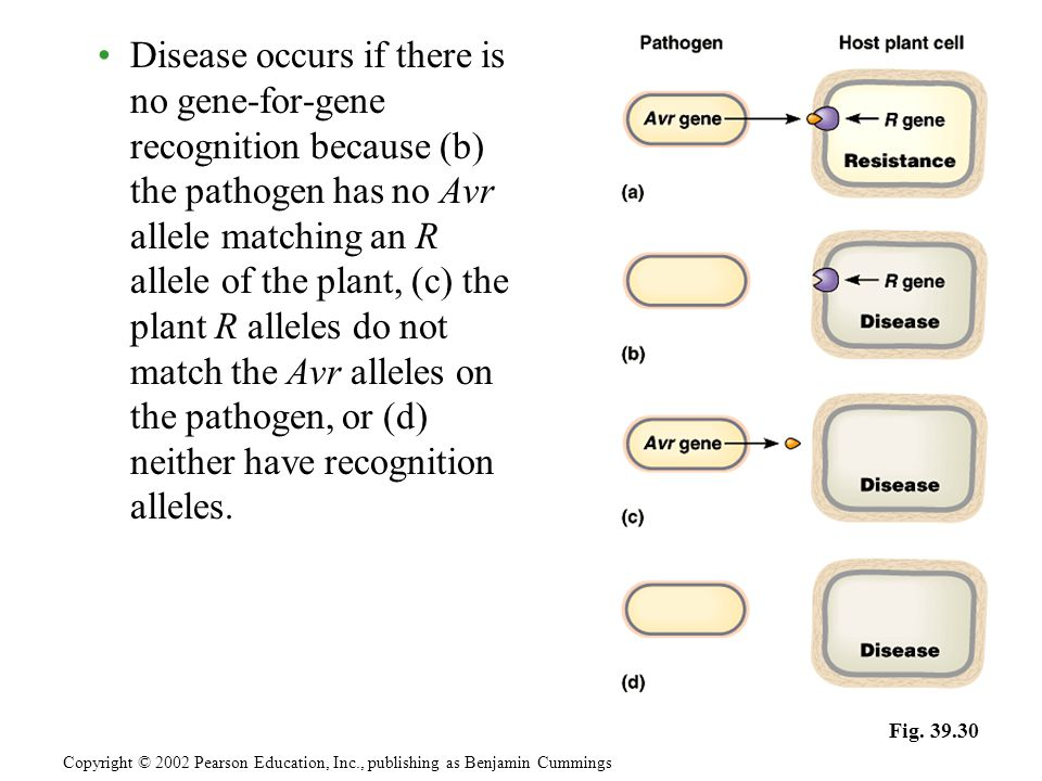 Disease occurs if there is no gene-for-gene recognition because (b) the pathogen has no Avr allele matching an R allele of the plant, (c) the plant R
