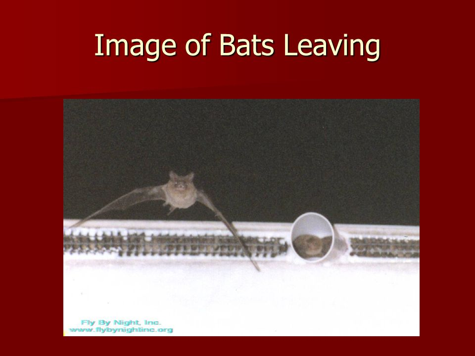 Image of Bats Leaving