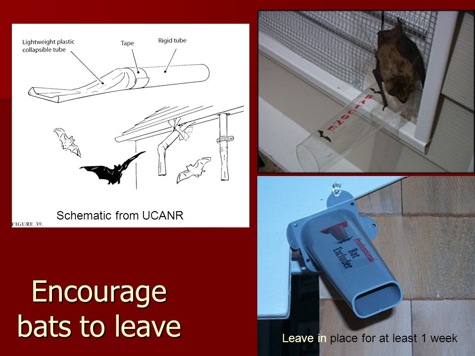 Encourage bats to leave Schematic from UCANR Leave in place for at least 1 week