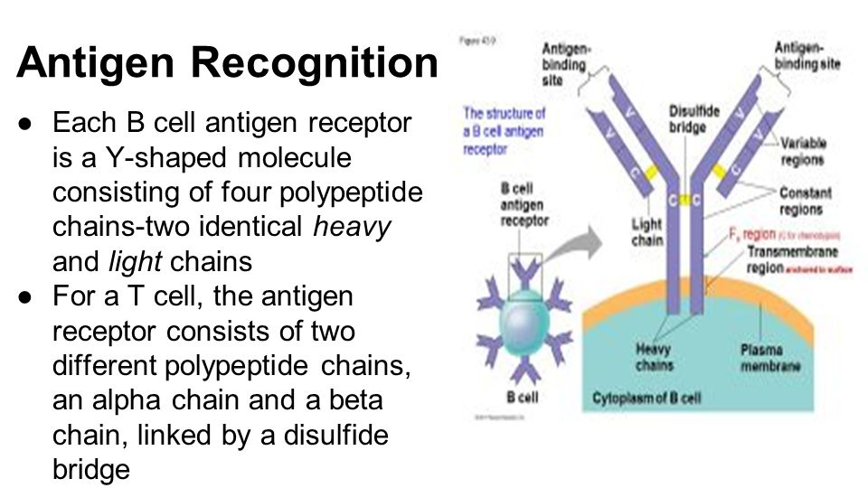 Antigen Recognition ●Each B cell antigen receptor is a Y-shaped molecule consisting of four polypeptide chains-two identical heavy and light chains ●For a T cell, the antigen receptor consists of two different polypeptide chains, an alpha chain and a beta chain, linked by a disulfide bridge
