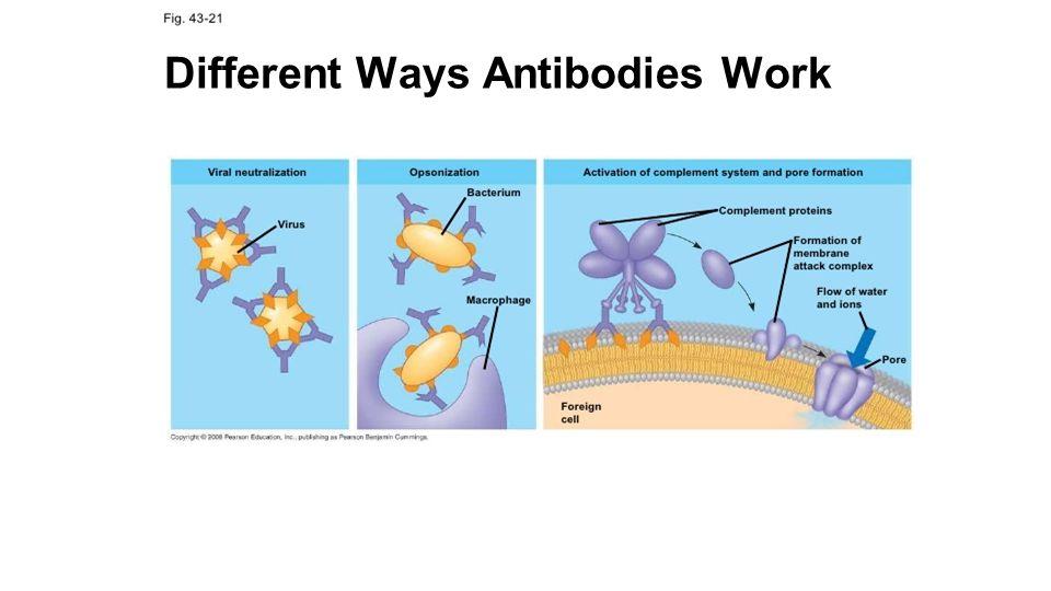 Different Ways Antibodies Work