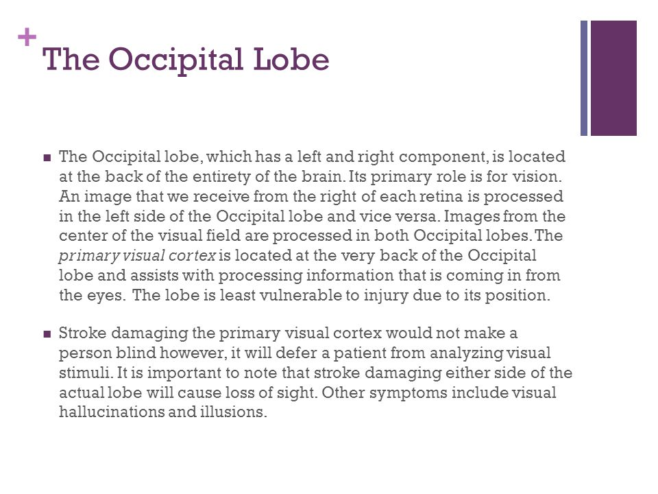 + The Occipital Lobe The Occipital lobe, which has a left and right component, is located at the back of the entirety of the brain.