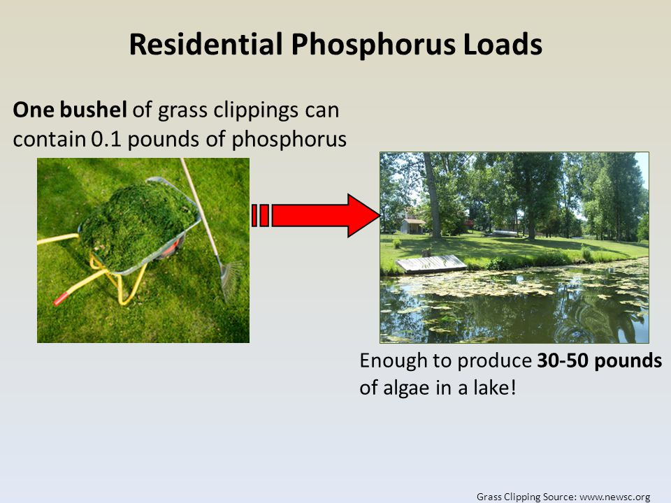 One bushel of grass clippings can contain 0.1 pounds of phosphorus Enough to produce 30-50 pounds of algae in a lake.