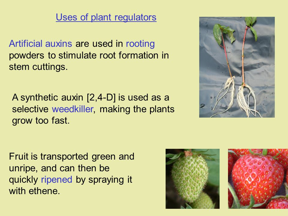 Uses of plant regulators Fruit is transported green and unripe, and can then be quickly ripened by spraying it with ethene. A synthetic auxin [2,4-D]