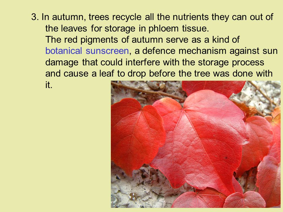 3. In autumn, trees recycle all the nutrients they can out of the leaves for storage in phloem tissue. The red pigments of autumn serve as a kind of b
