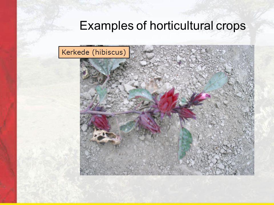 Examples of horticultural crops Kerkede (hibiscus)