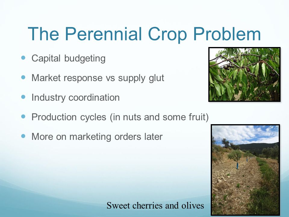 The Perennial Crop Problem Capital budgeting Market response vs supply glut Industry coordination Production cycles (in nuts and some fruit) More on marketing orders later Sweet cherries and olives