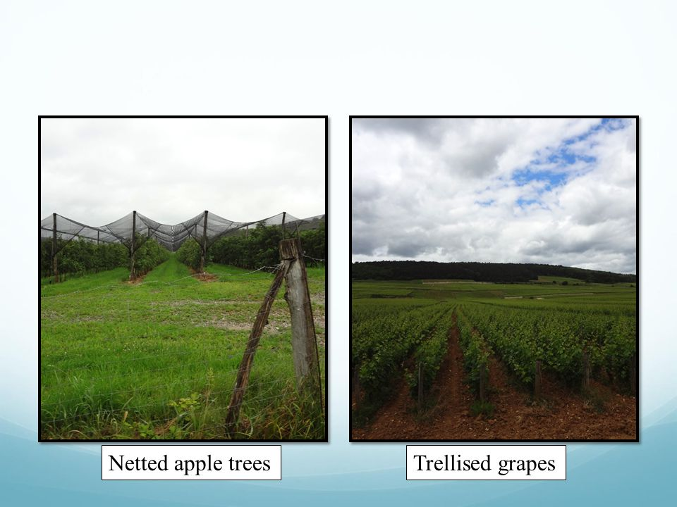 Trellised grapesNetted apple trees