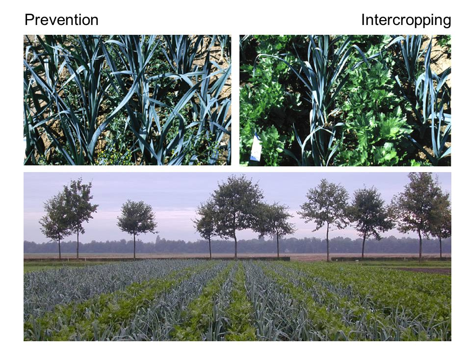 PreventionIntercropping