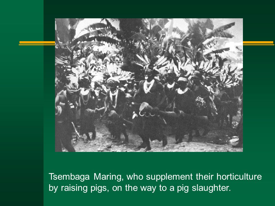 Tsembaga Maring, who supplement their horticulture by raising pigs, on the way to a pig slaughter.