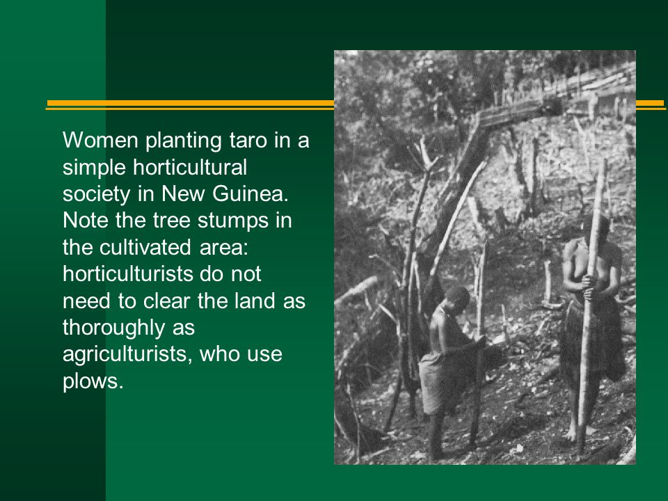 Women planting taro in a simple horticultural society in New Guinea. Note the tree stumps in the cultivated area: horticulturists do not need to clear