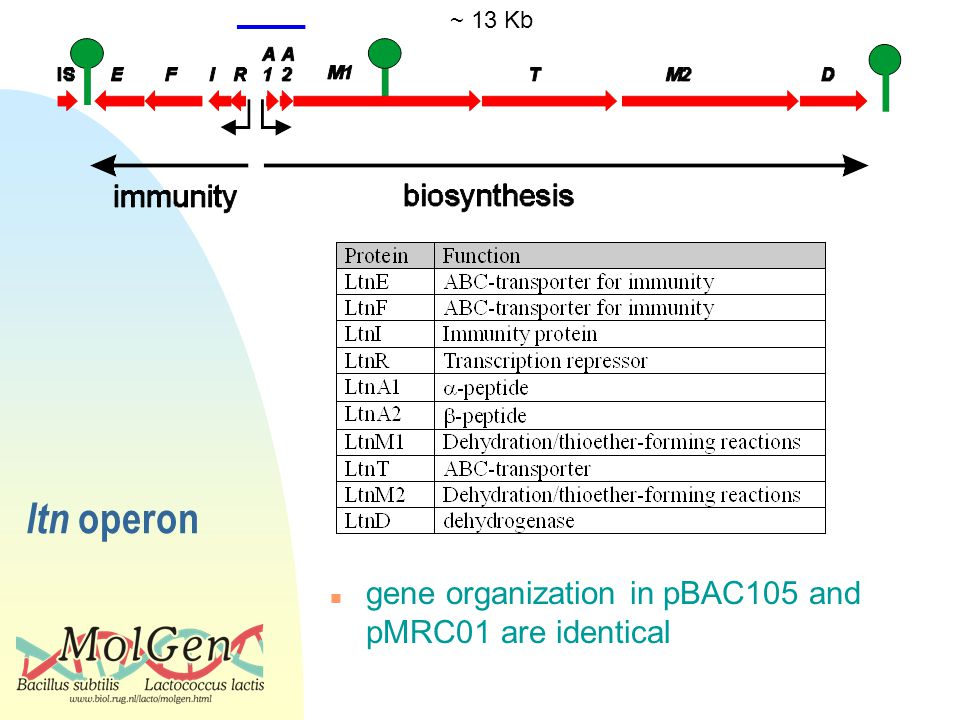 ltn operon ~ 13 Kb n gene organization in pBAC105 and pMRC01 are identical