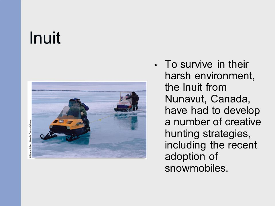 Inuit To survive in their harsh environment, the Inuit from Nunavut, Canada, have had to develop a number of creative hunting strategies, including th