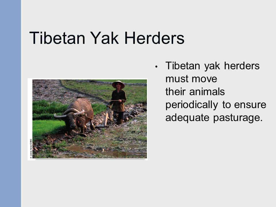 Tibetan Yak Herders Tibetan yak herders must move their animals periodically to ensure adequate pasturage.