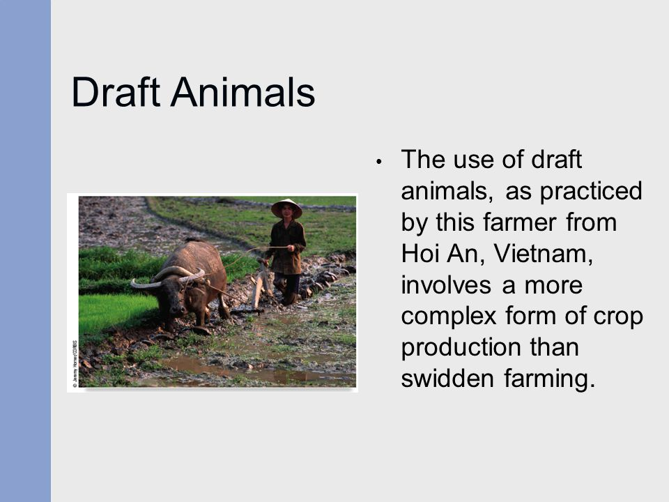 Draft Animals The use of draft animals, as practiced by this farmer from Hoi An, Vietnam, involves a more complex form of crop production than swidden farming.