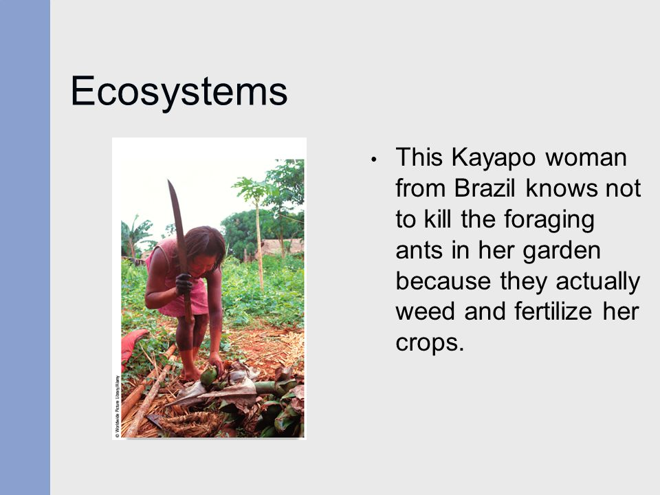 Ecosystems This Kayapo woman from Brazil knows not to kill the foraging ants in her garden because they actually weed and fertilize her crops.