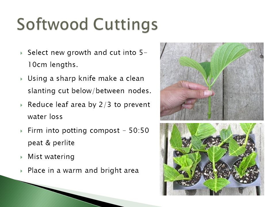  Select new growth and cut into 5- 10cm lengths.